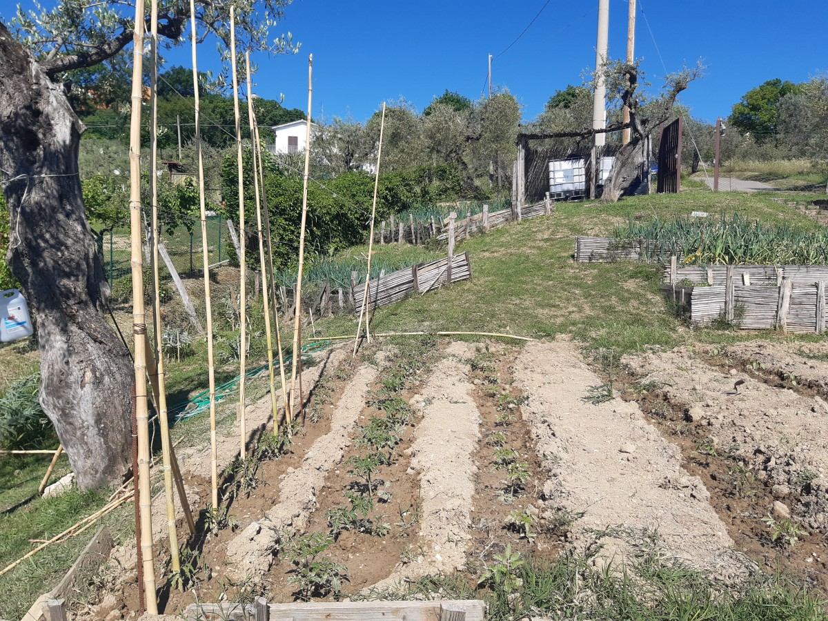 Ora sto preparando le canne per far arrampicare i pomodori quando saranno più grandi