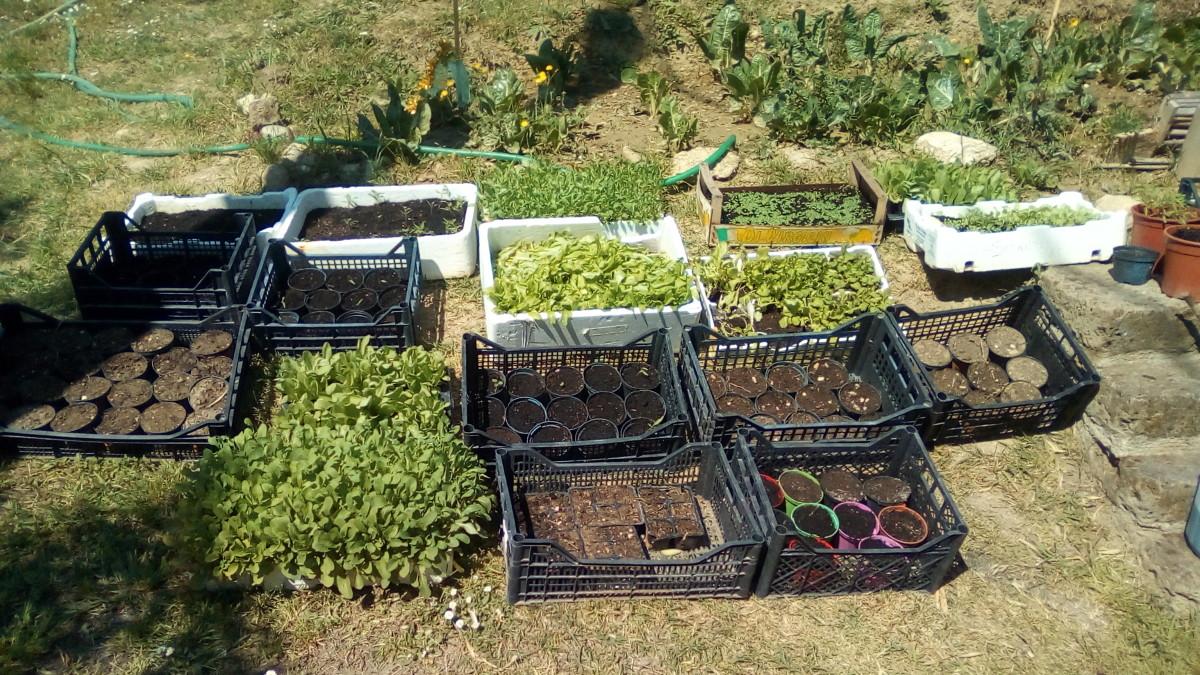 Quest'anno non abbiamo comprato piantine ma le abbiamo seminate tutte e fatte crescere nel nostro semensaio