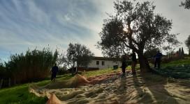 comunità rajo raccolta olive